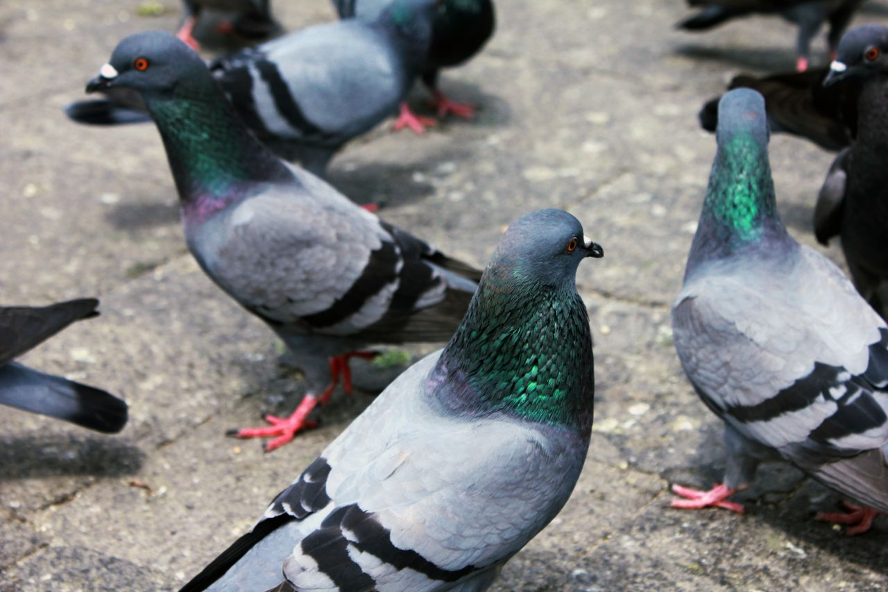"Free photo ""Group Of Birds Pigeons"""