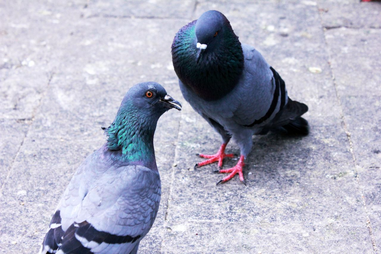 "Free photo ""Two Pigeons"""