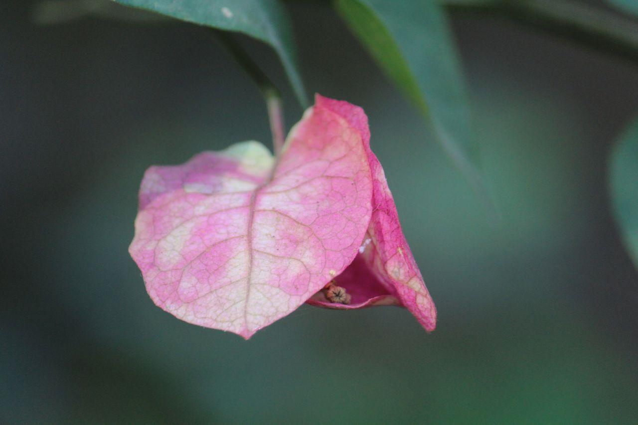 "Free photo ""Pink Leaf Flower"""