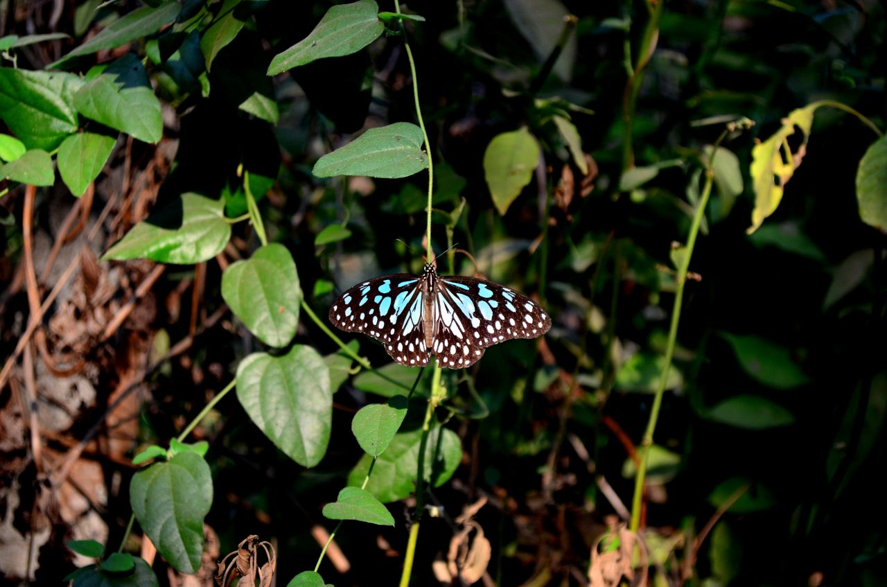 """Free photo """"Butterfly Blue Tiger"""""""