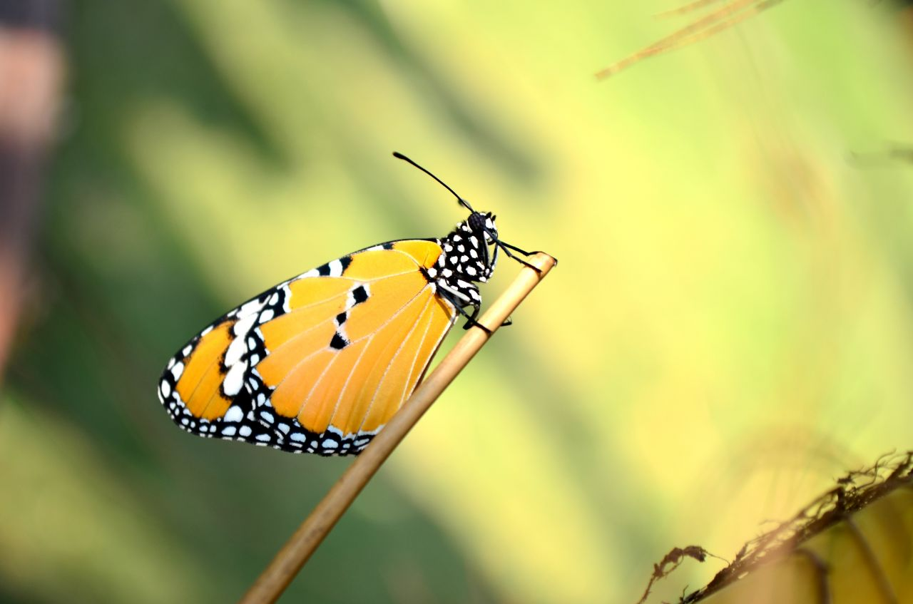 """Free photo """"Tiger Butterfly Closeup"""""""