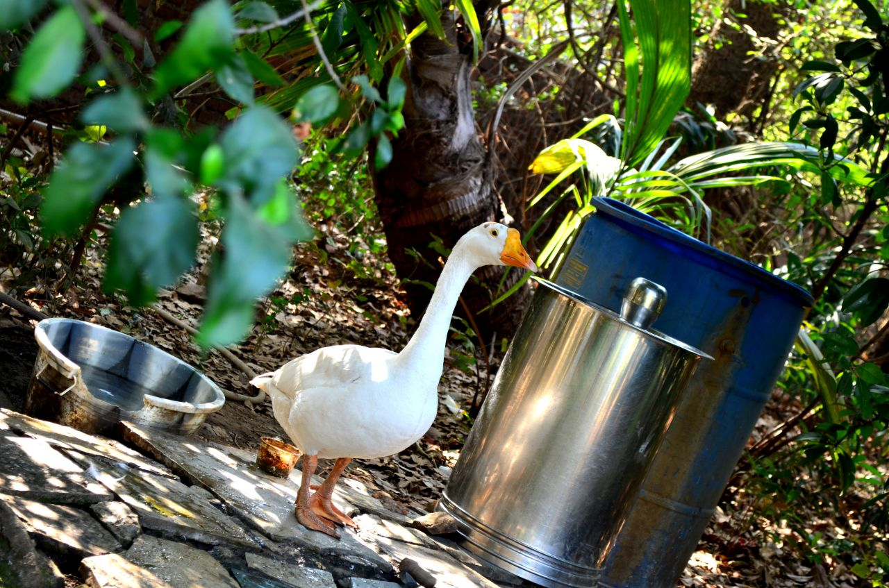 "Free photo ""White Bird Duck"""