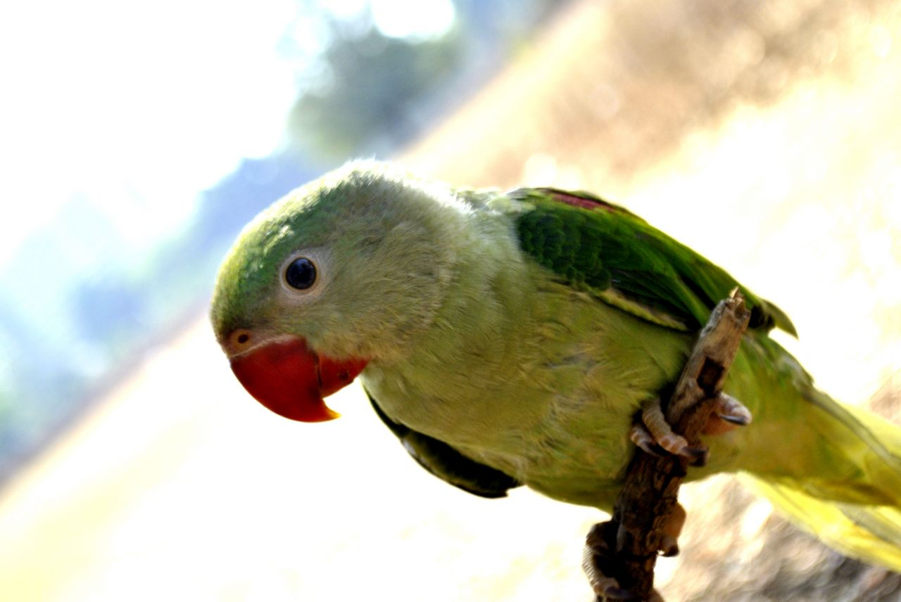 """Free photo """"Green Parrot Branch 2"""""""