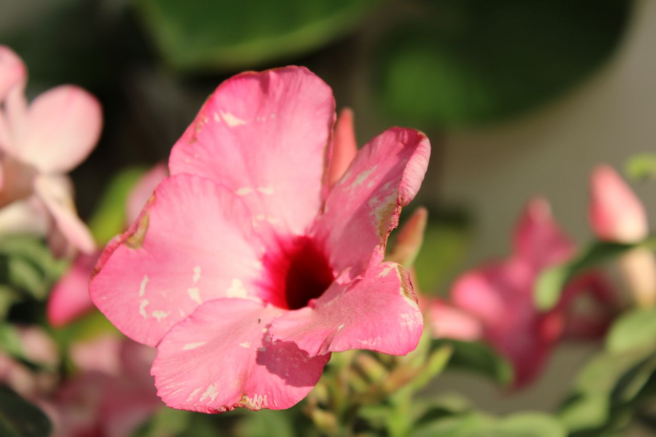 "Free photo ""Pink Flower Petals Closeup"""