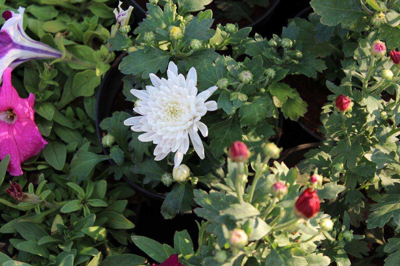 """Free photo """"White Chrysanthemum"""""""