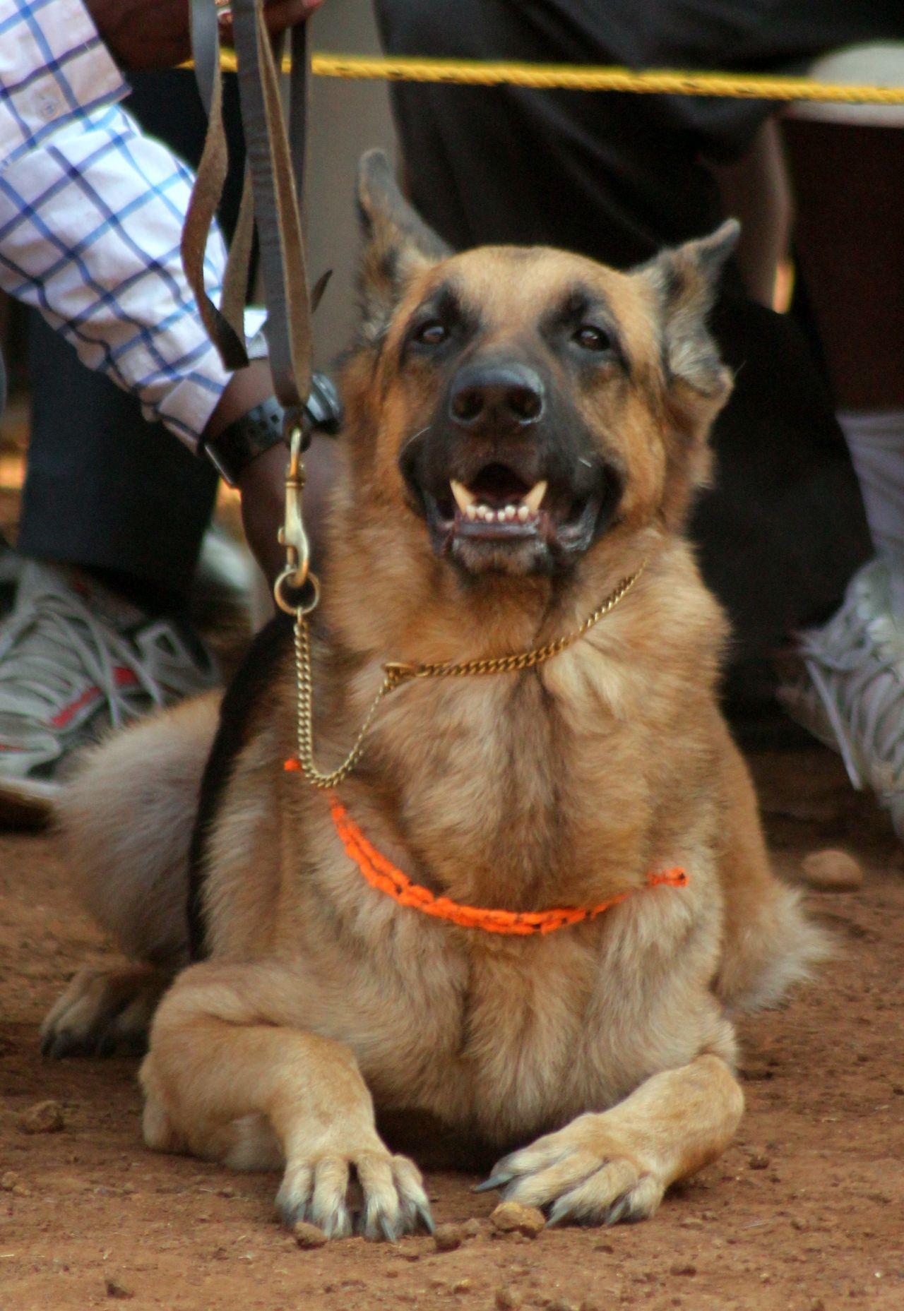 """Free photo """"German Shepherd Dog Sitting"""""""