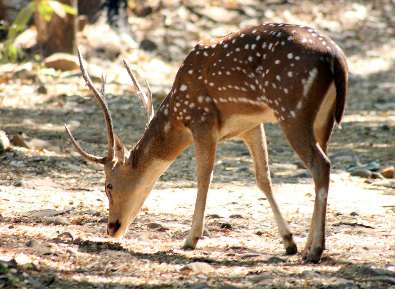 "Free photo ""Deer Grass Eating"""