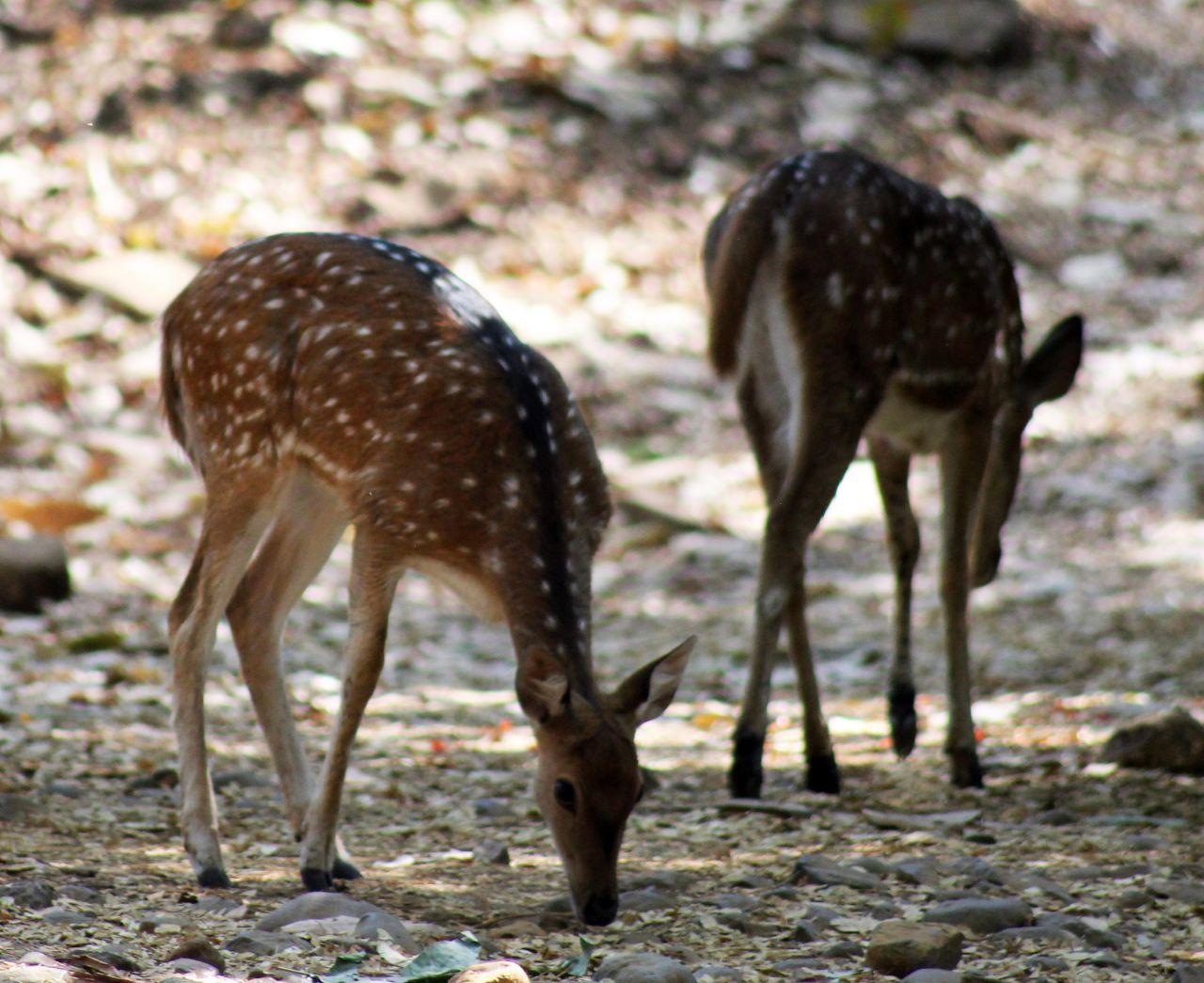 "Free photo ""Deer Grazing"""