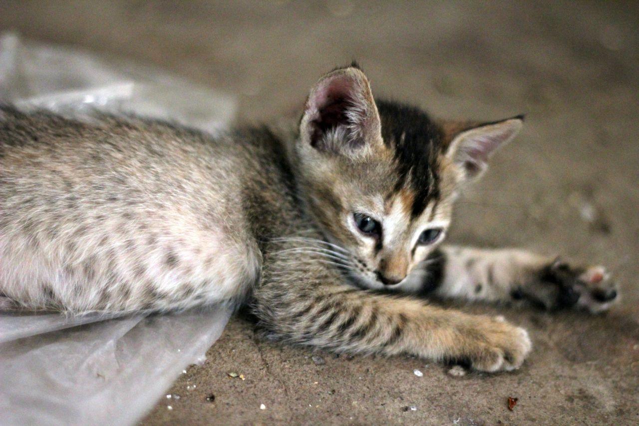 """Free photo """"Kitten Sleep"""""""