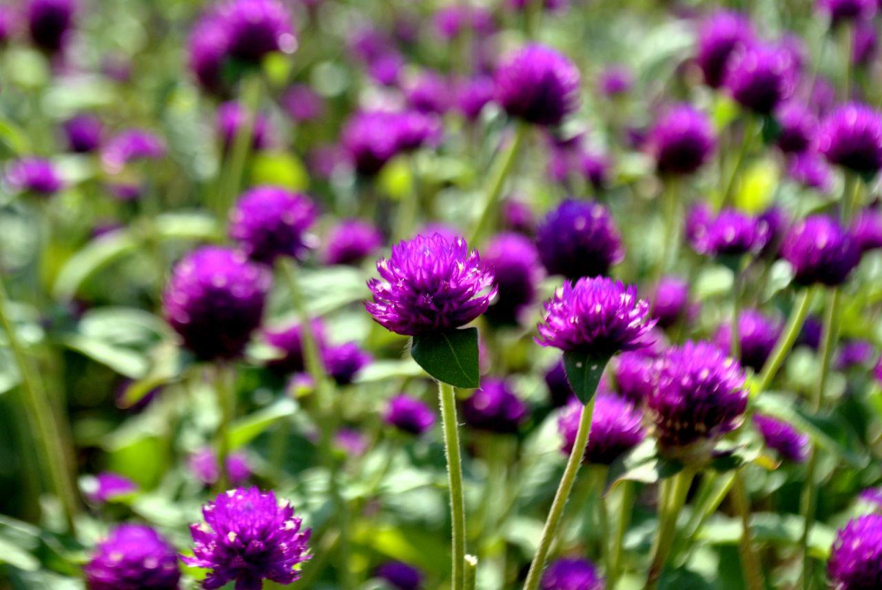 "Free photo ""Garden Purple Flowers"""