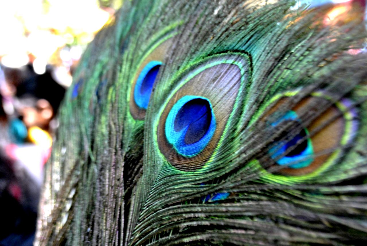 """Free photo """"Peacock Feathers"""""""