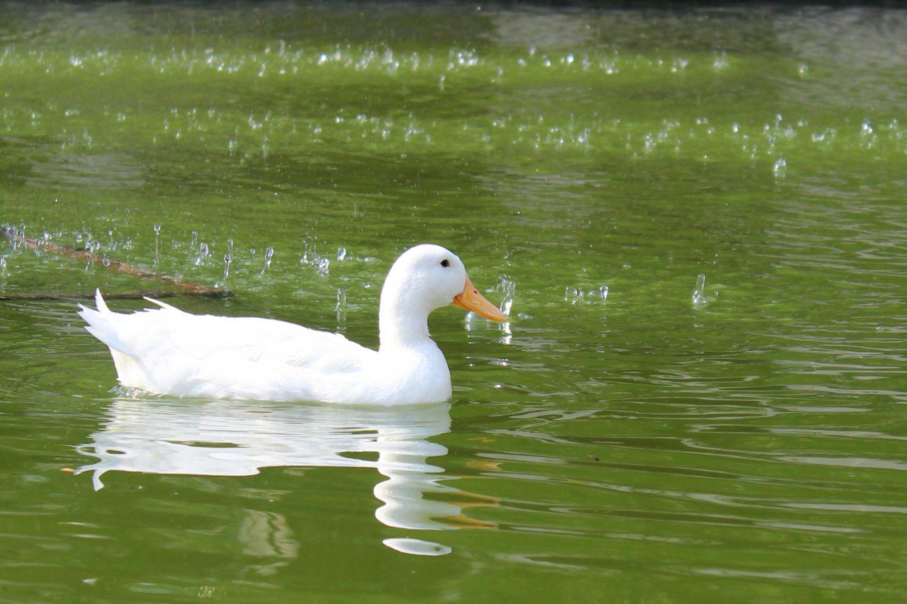 """Free photo """"White Duck In Greenish Water"""""""