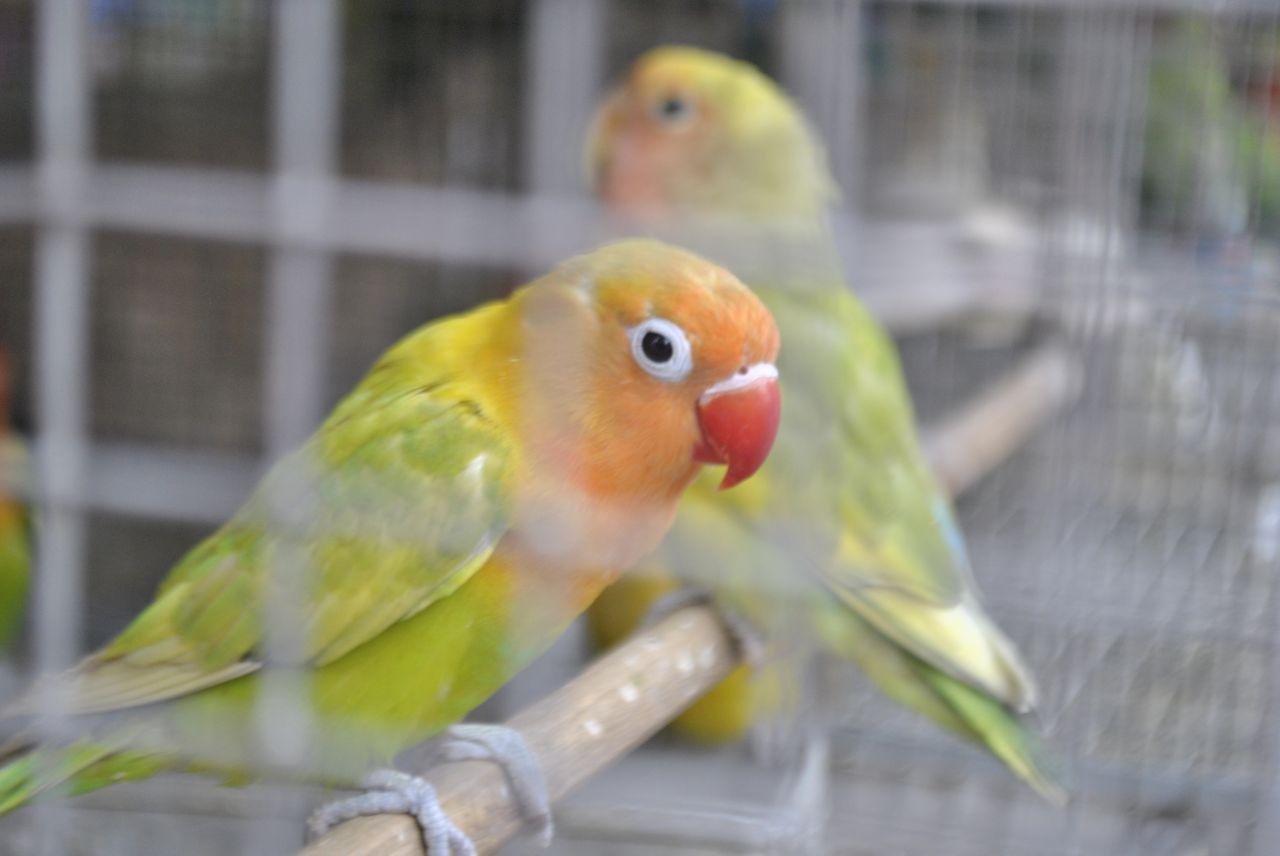 """Free photo """"Pet Store Parrots"""""""