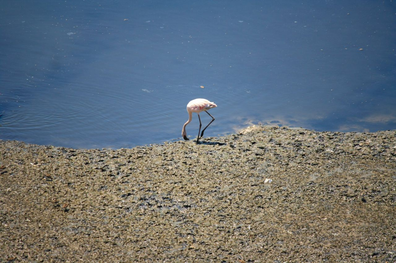 "Free photo ""Solitary Flamingo"""