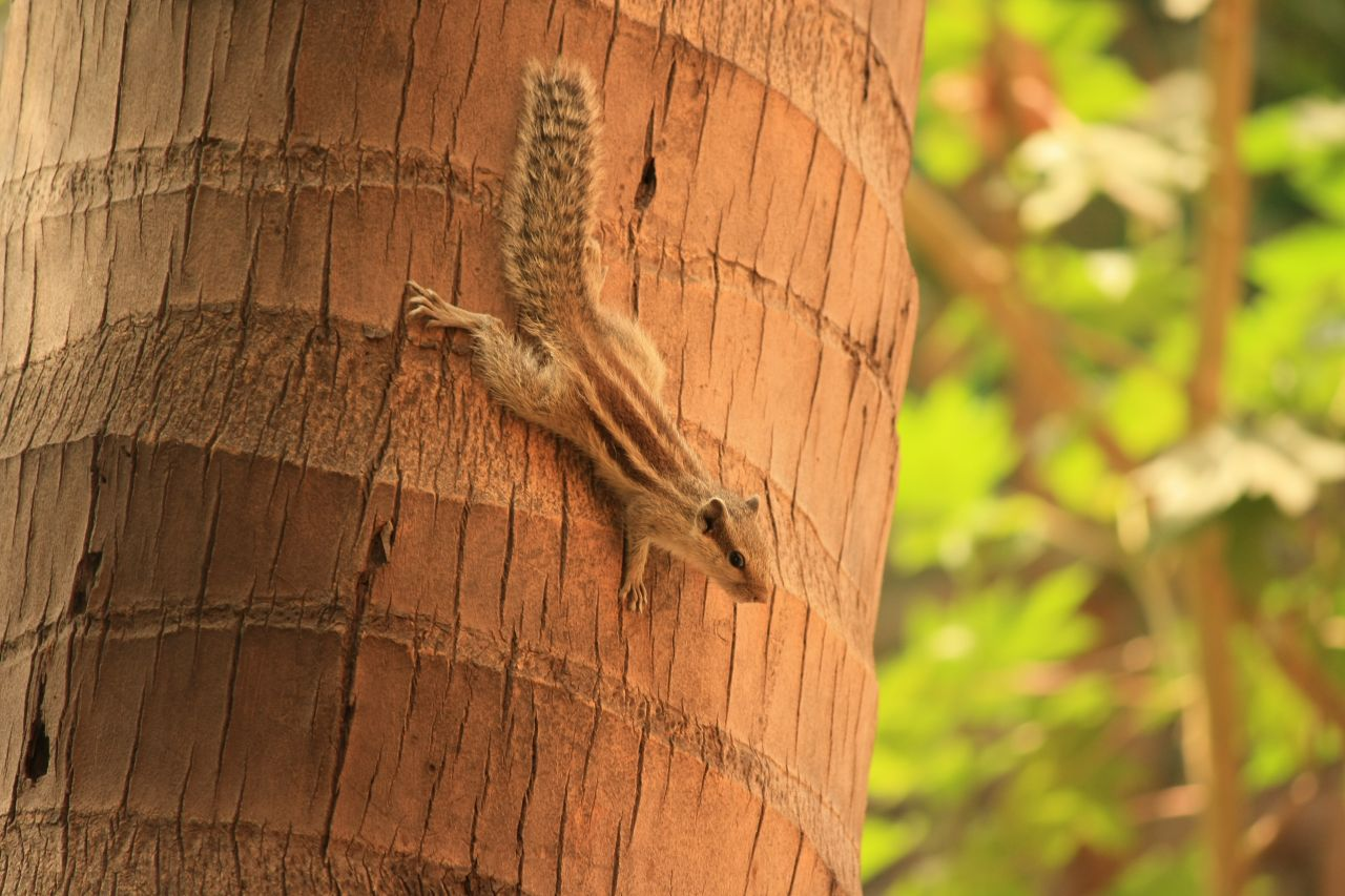 "Free photo ""Squirrel Climbing Down Tree"""