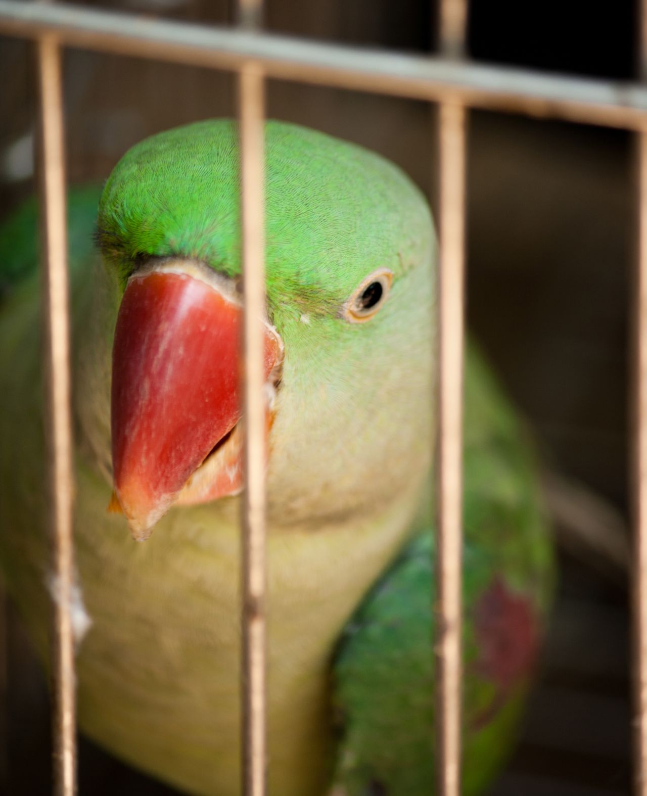 """Free photo """"Parrot Caged"""""""