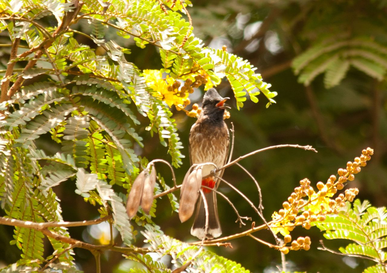 "Free photo ""Bulbul Bird"""