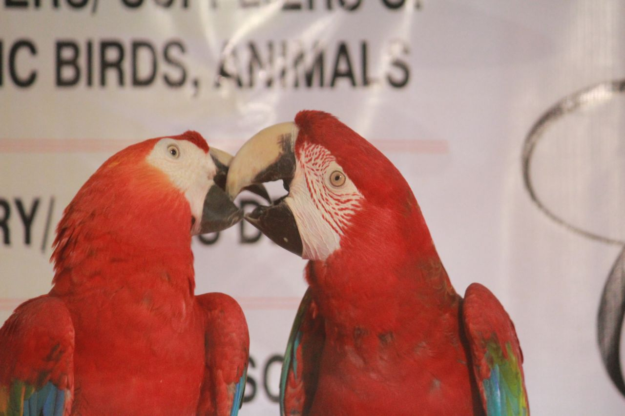 "Free photo ""Parrot Couple Birds"""