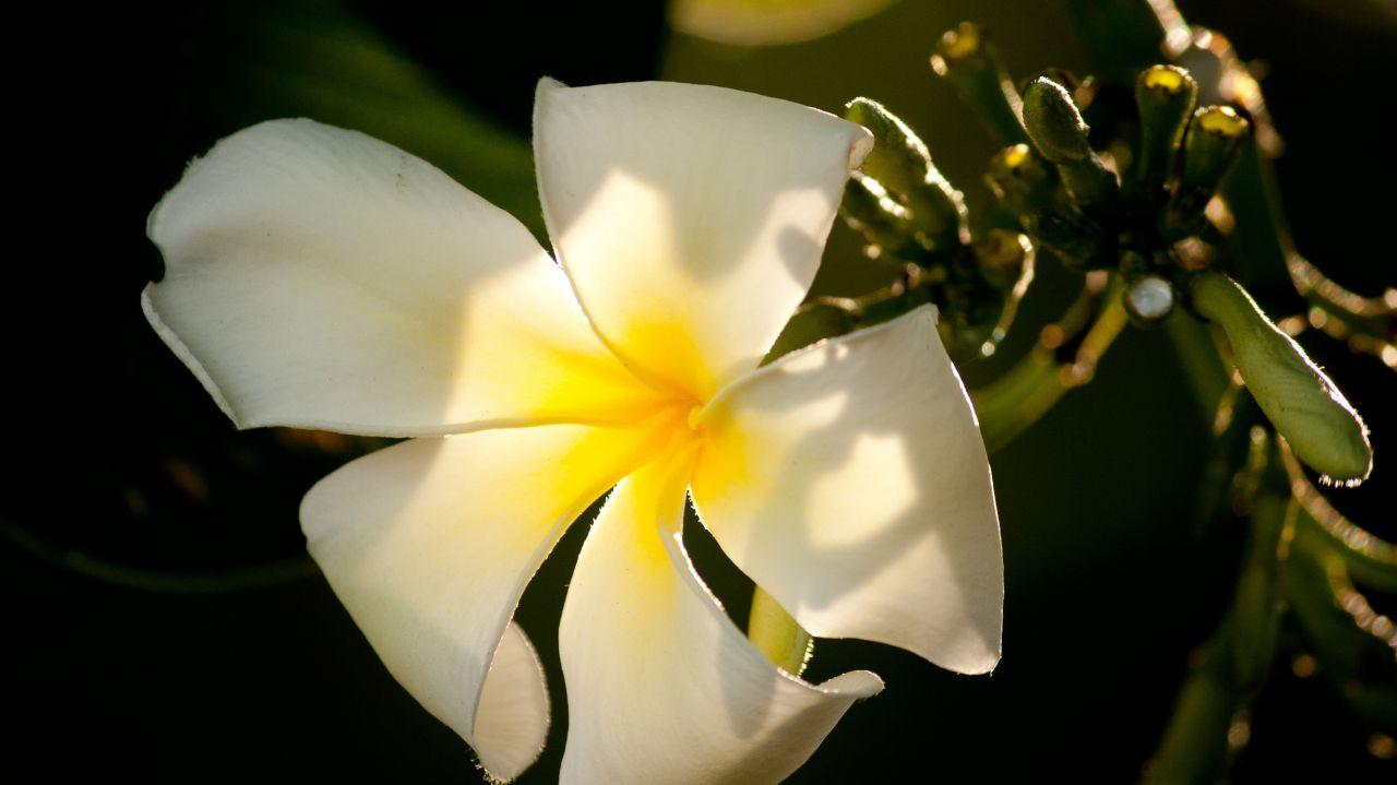 "Free photo ""White Flower Beautiful"""