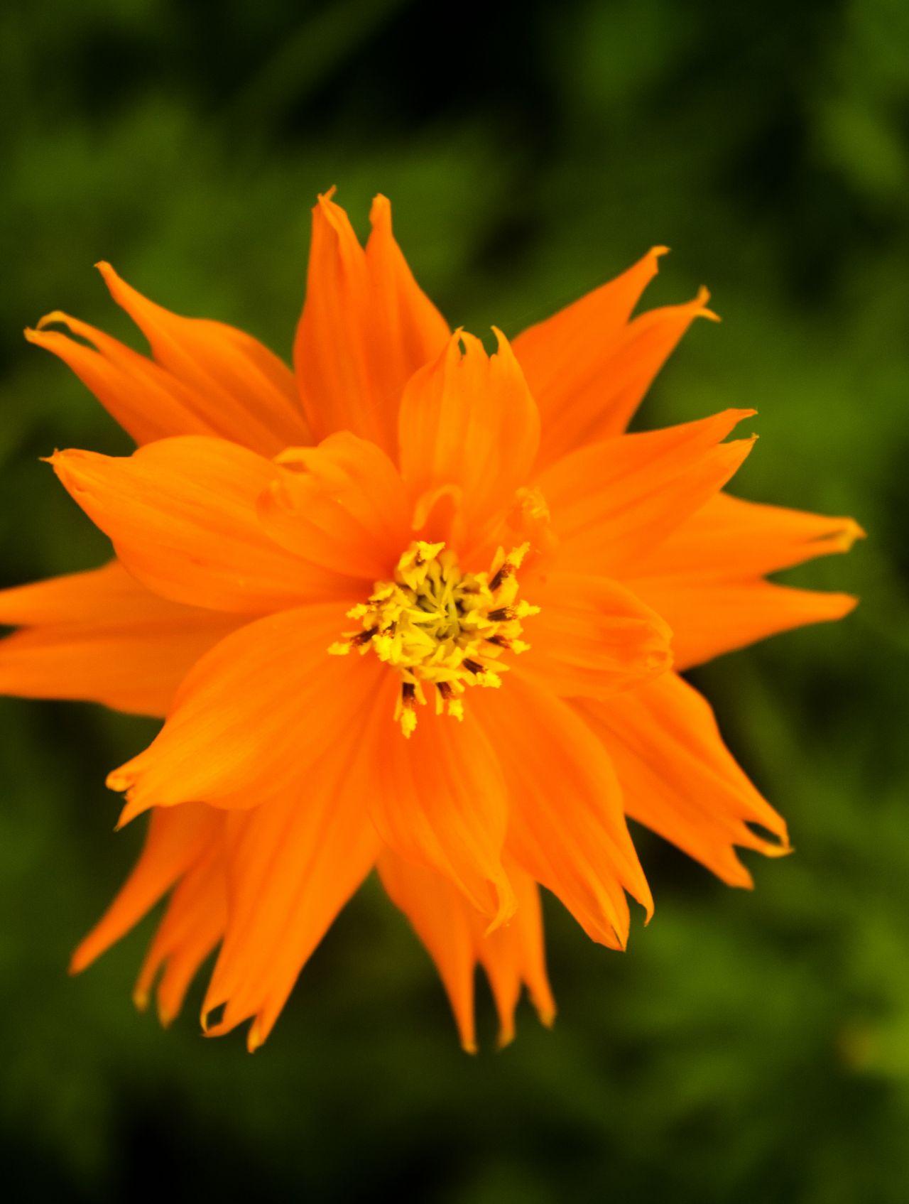 "Free photo ""Orange Flower"""
