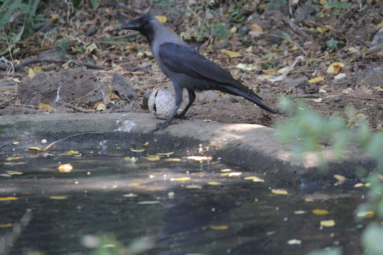 """Free photo """"Crow Near Water Pond"""""""