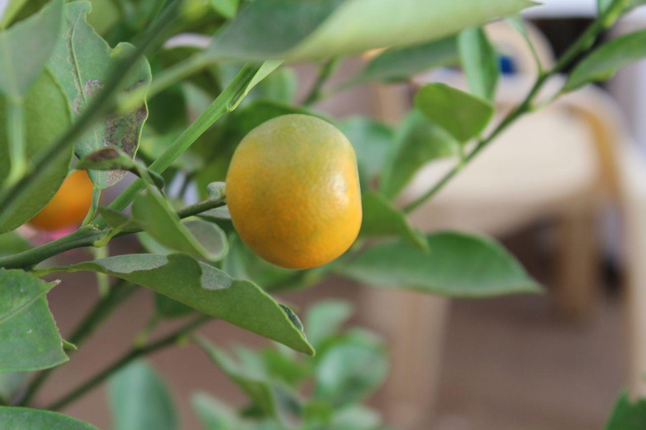 """Free photo """"Orange Fruit Plant Garden"""""""