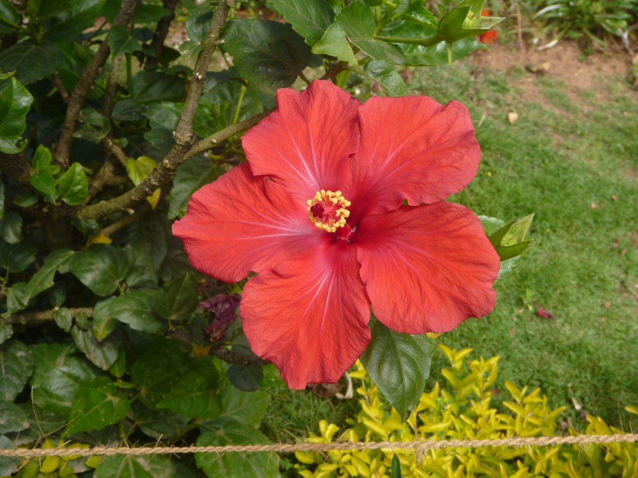 "Free photo ""Hibiscus In Garden"""