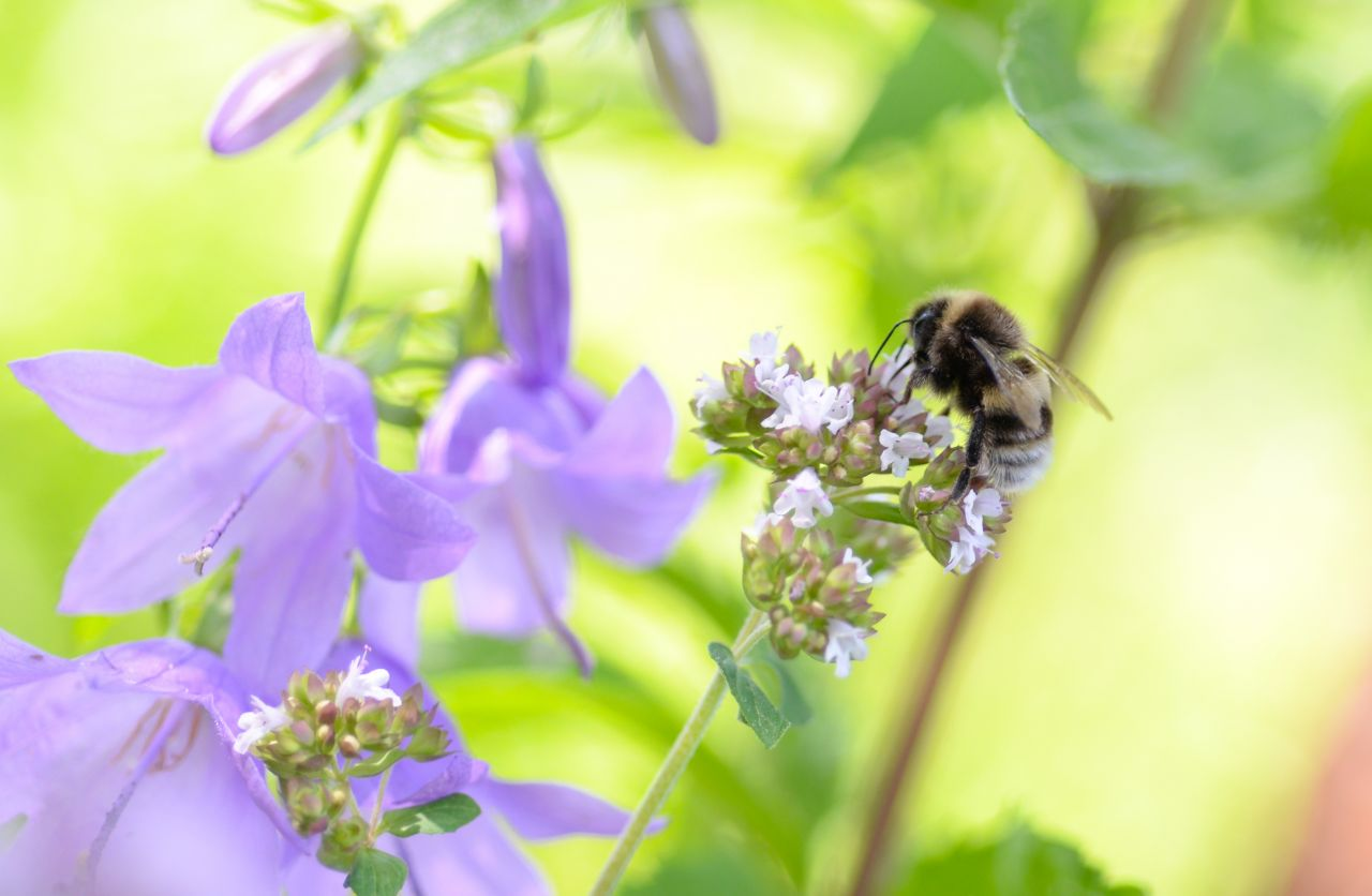 "Free photo ""Bee with purple flowers"""