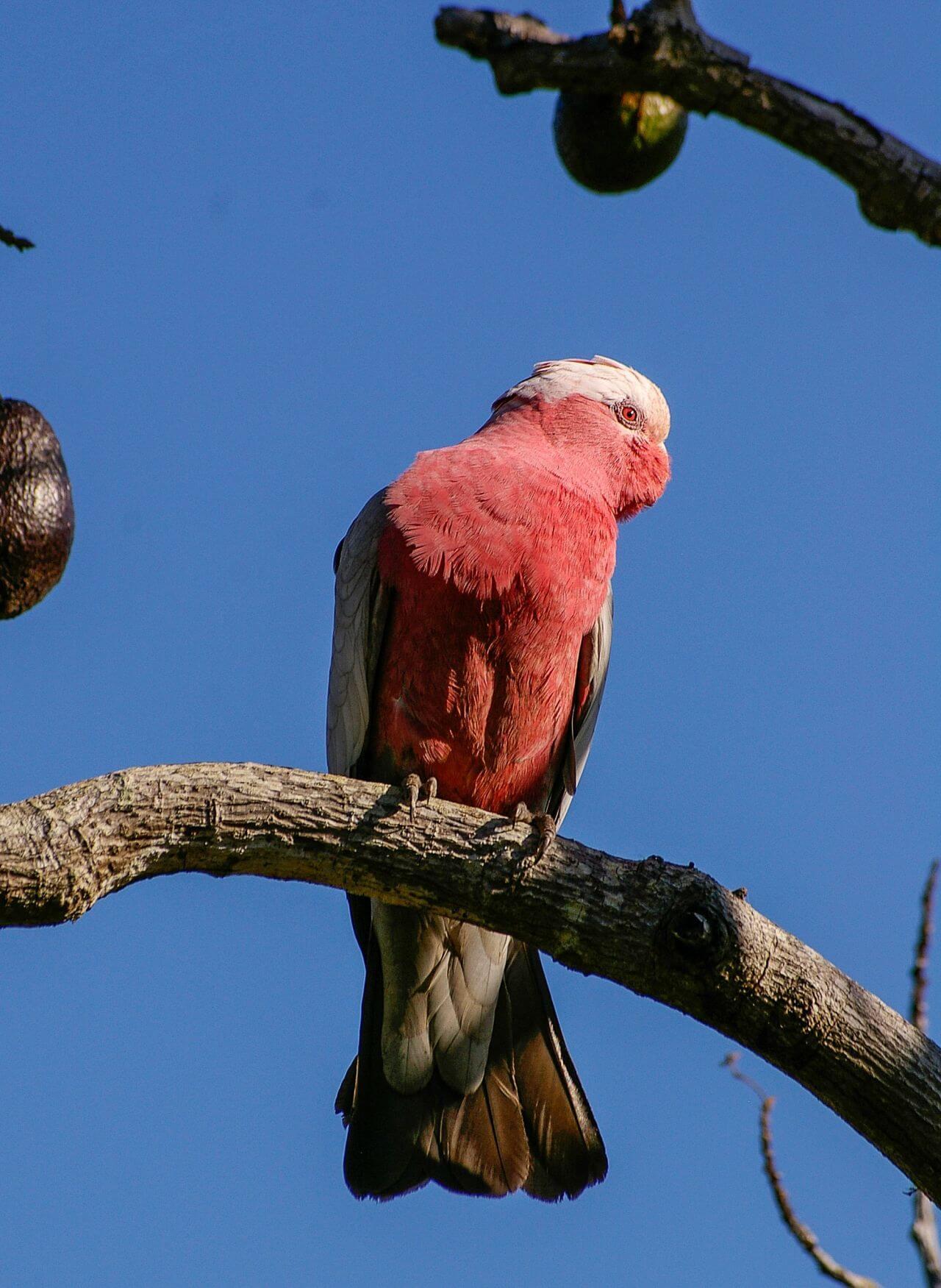 "Free photo ""Avian"" by Gold Coast/Australia"