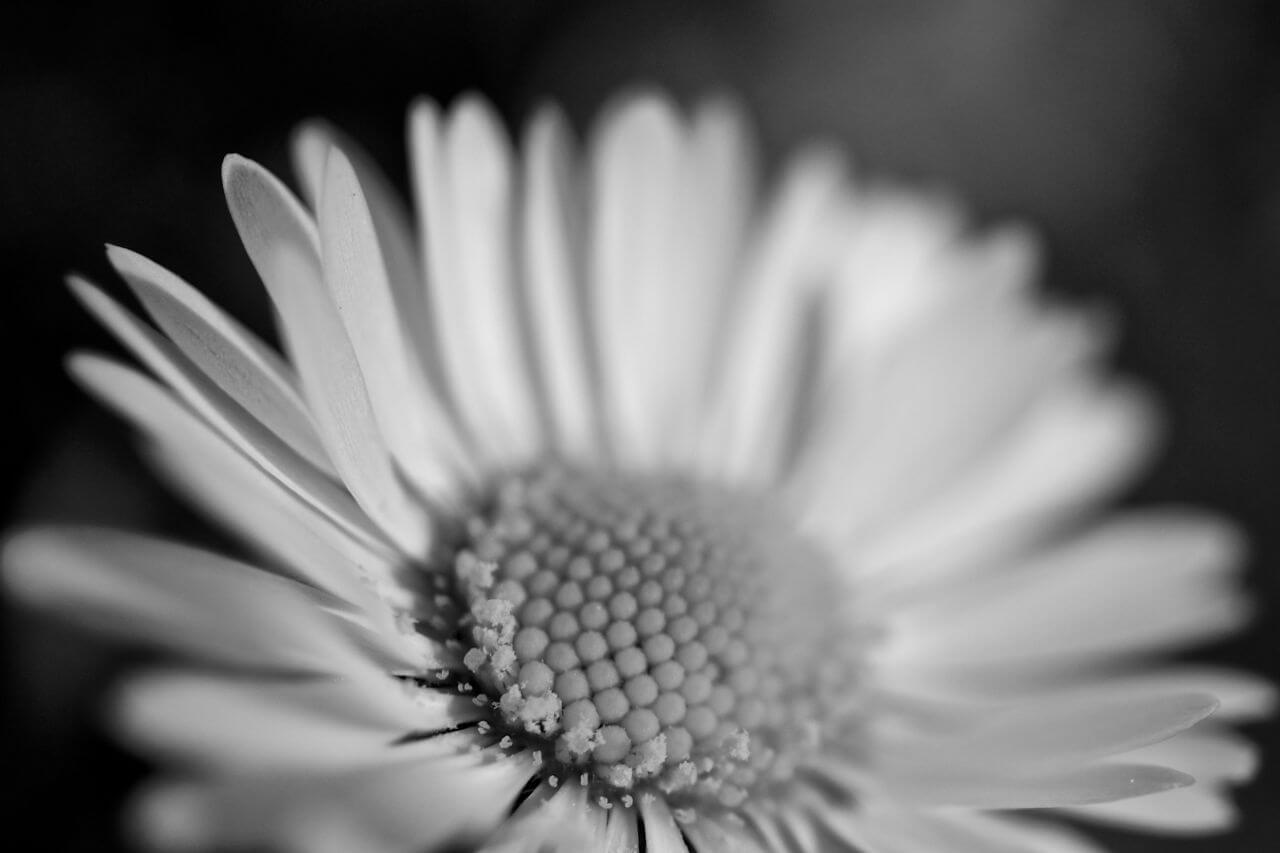 """Free photo """"Flower Macro Sunflower Black White"""" by Bossfight"""