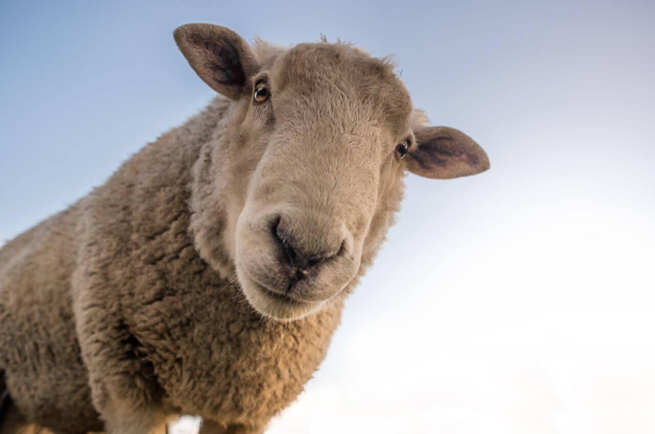 "Free photo ""Curious Sheep Blue Sky Closeup"" by skitterphoto"