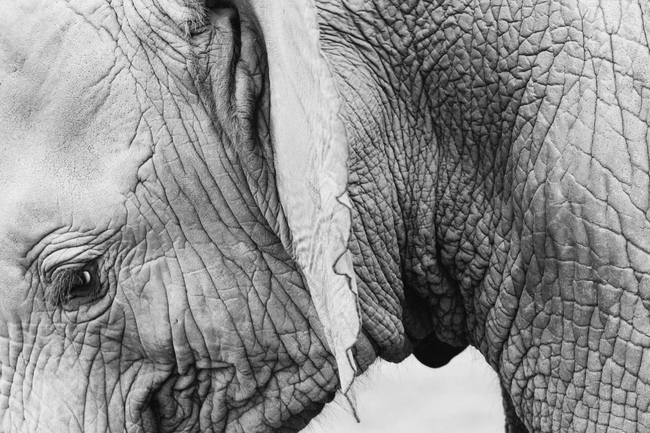 "Free photo ""Closeup Baby Elephant Black White"" by Jay Mantri"