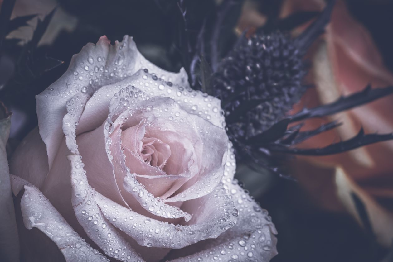 "Free photo ""Rose"" by Jez Timms"