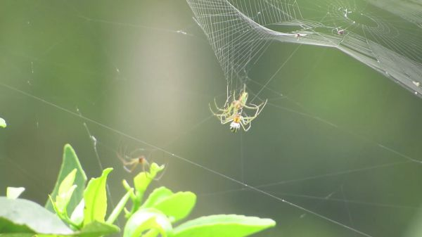 Spiders weaving  insects  arachnid spiders video