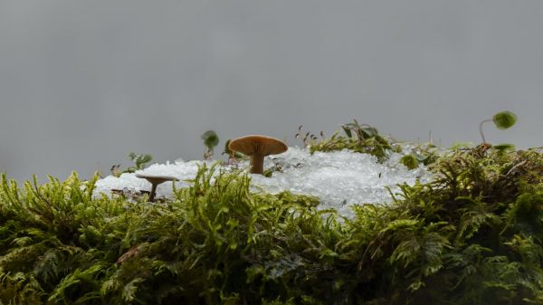 Snow  mushroom  snow melt video