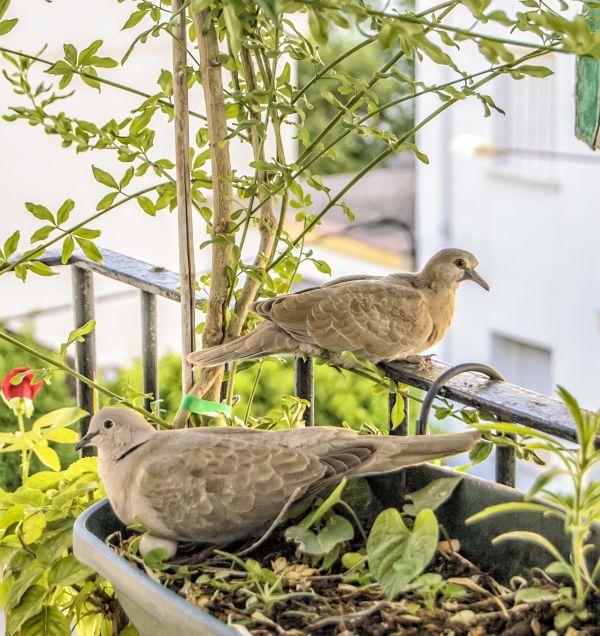 Turtledoves photo