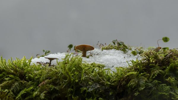 Snow melt  mushroom  moss video