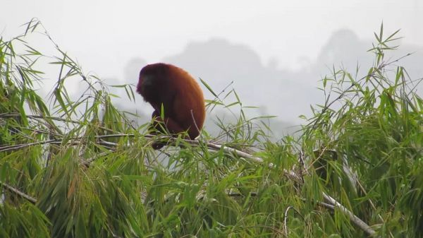 Fauna  howler monkey  mono video