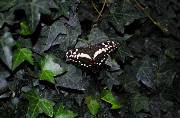 Black butterfly photo