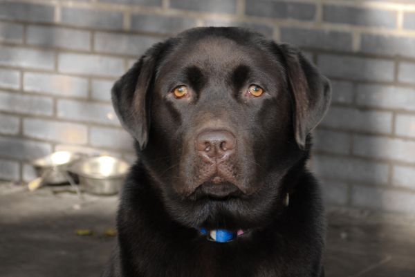 Labrador close up  photo