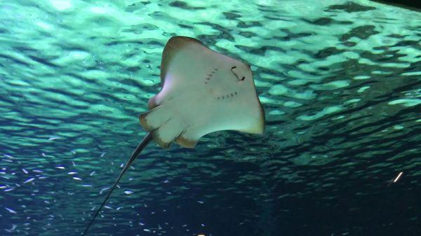Aquarium  manta  ray video