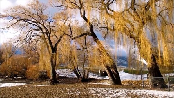 Winter  tree  willow video