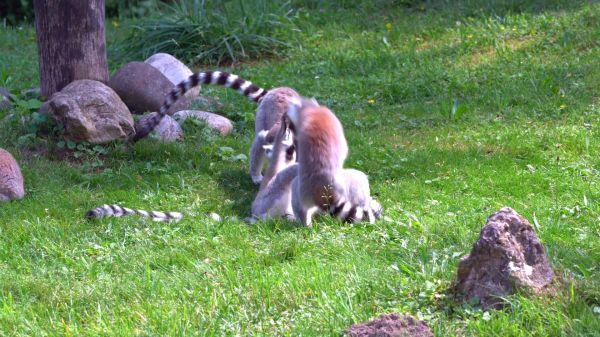 Lemur  ape  madagascar video