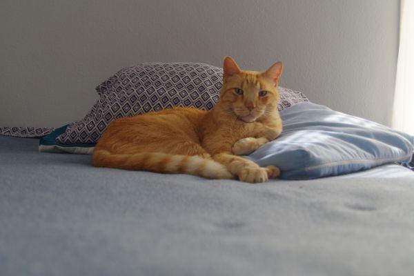 Tabby on Pillows photo