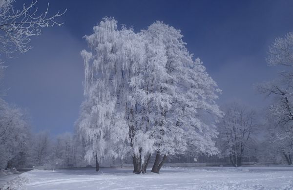 Frozen Tree photo