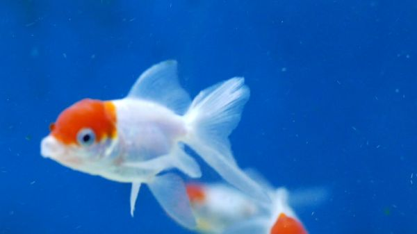 Fish  goldfish  water video