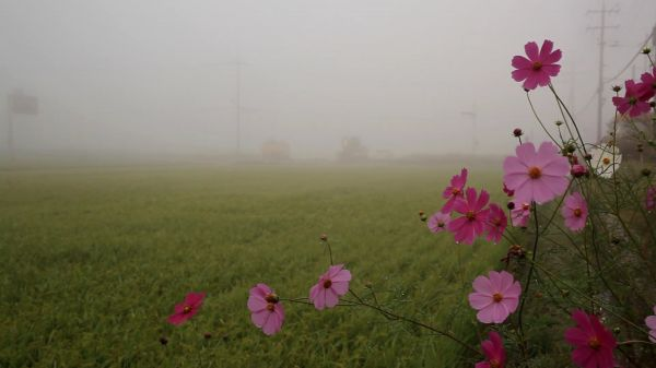 Autumn  field  cosmos video