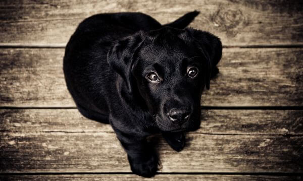 Black Lab Dog Puppy on Rustic Wood Background photo