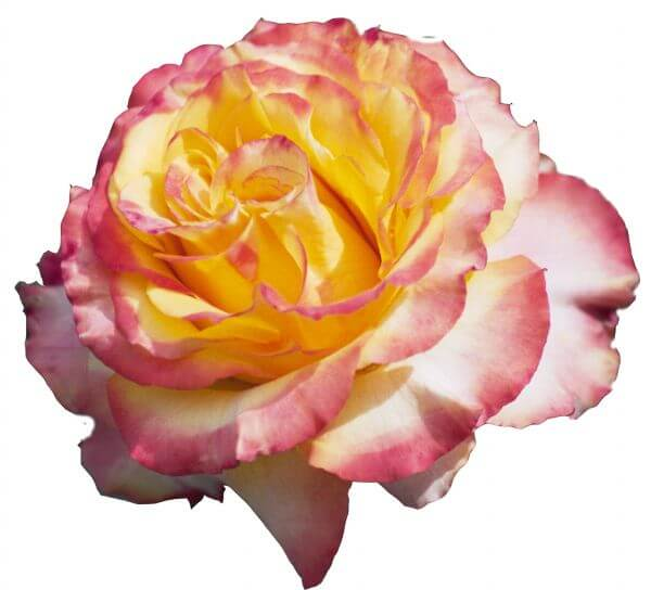 pink-and-yellow rose photo