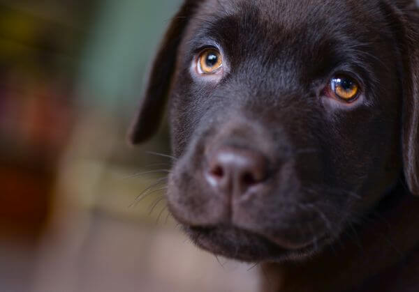 Sad looking Labrador photo